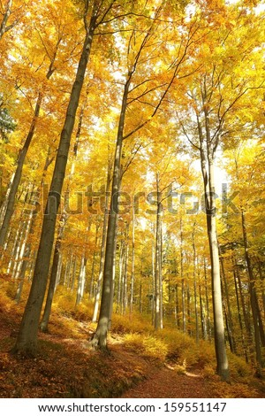 Beech Forest in the orange colors of autumn.