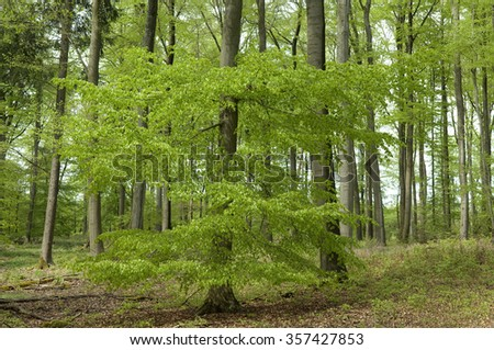 beech forest; in the spring