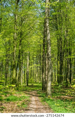 Beech forest in the springtime in green colors - stock photo