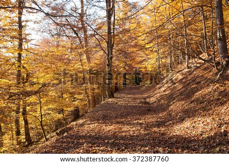 Beech Forest in the Ukrainian Carpathians in a golden autumn