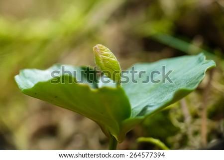 beech germling (Fagus sylvatica) - stock photo