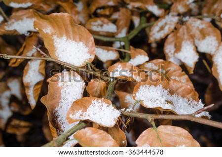beech in winter - stock photo