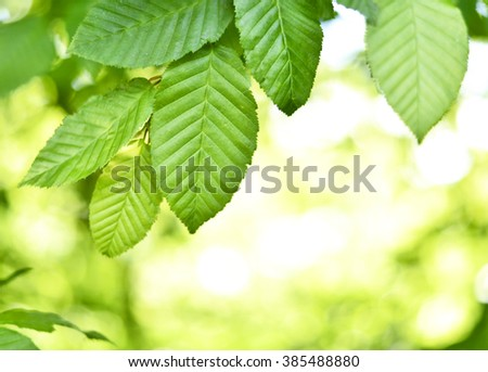 Beech leaves and sunbeam in a mixed forest. Spring scene with fresh leaves of a beech tree and bright sun. Focus on the foreground, selective focus of leaves in a forest.  - stock photo