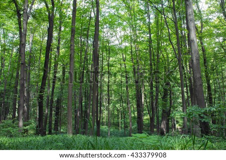 beech tall green trees in spring forest with grass on the foreground