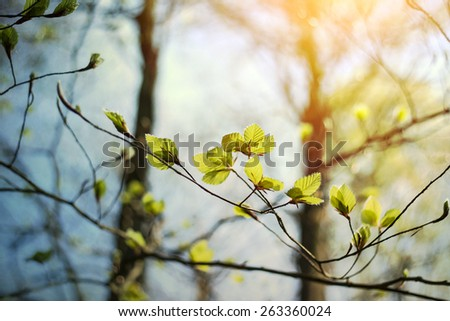 beech tree blooming in early spring  - stock photo