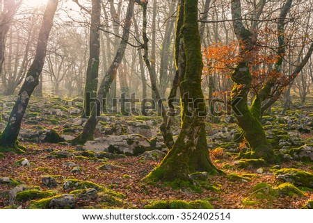 Beech tree forest in autumn with sun rays