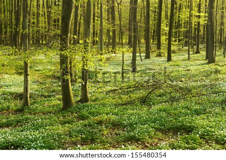 Beech tree forest in early spring forest floor covered by wood