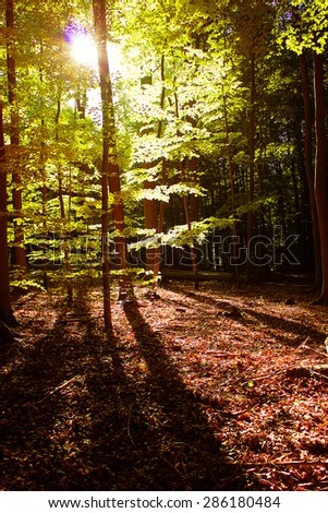 Beech Tree Forest in the Evening - stock photo