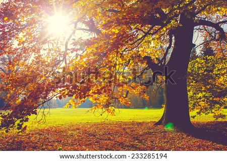 Beech Tree in Foliage at Fall