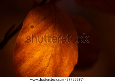 Beech Tree Leaf in Fall partly lit by the sun