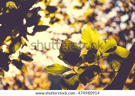 Beech Tree Leaves in the late Summer golden Morning Sun