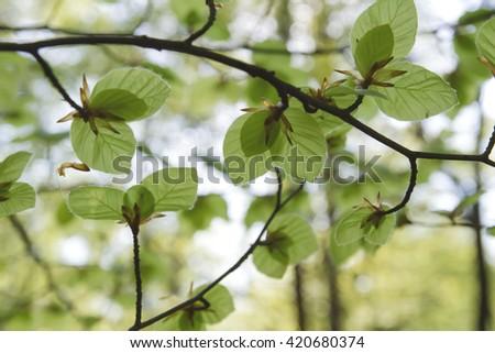 beech tree new packs of leaves  - stock photo
