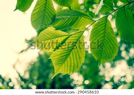 Beech tree with green leaves in the spring - stock photo