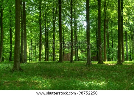 Beech trees. - stock photo