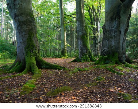 beech trees in a forest at Darss Peninsula, Germany