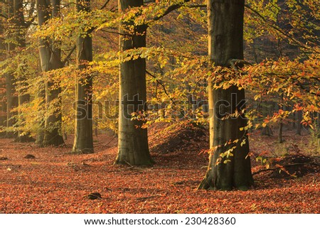 Beech trees in an forrest on sunny afternoon in autumn. - stock photo