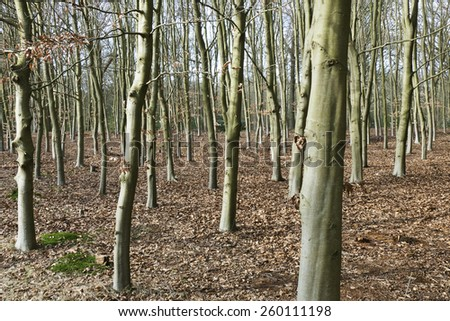 Beech trees in De Horsten estate in Wassenaar, Netherlands.