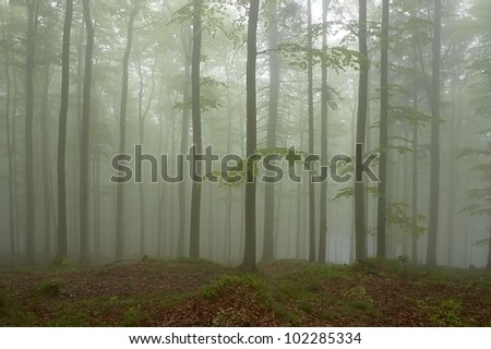 Beechwood with fog in backcloth.
