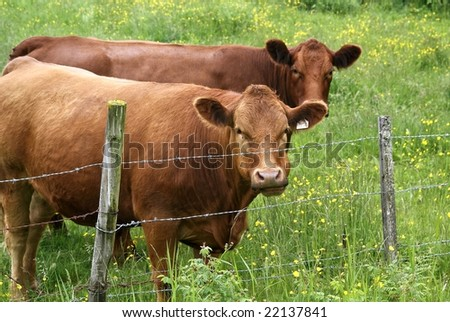beef cattle - stock photo