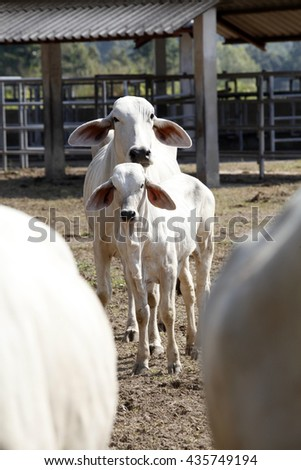 Beef Cattle Brahman - stock photo