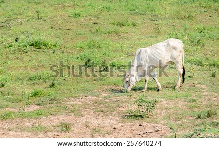 beef cattle eating grass - stock photo