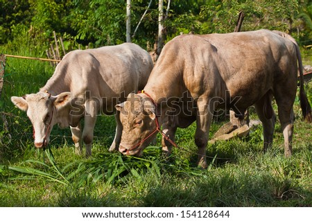 Beef cattle farm - stock photo