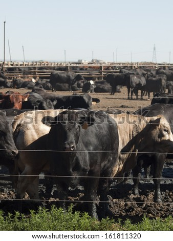 Beef cattle in northern Colorado. - stock photo