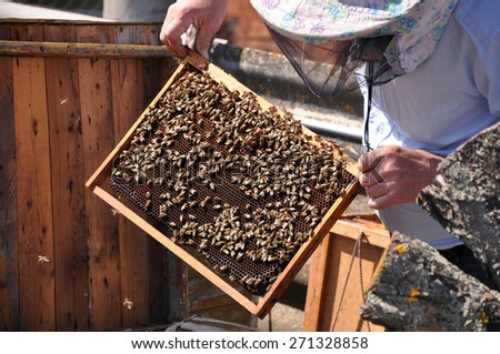 Beekeeper holding a frame of honeycomb. Working bee on honeycomb. Beekeeper checking a beehive. - stock photo