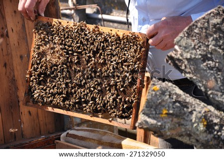 Beekeeper holding a frame of honeycomb. Working bee on honeycomb. Work bees in hive. Beekeeper checking a beehive. - stock photo
