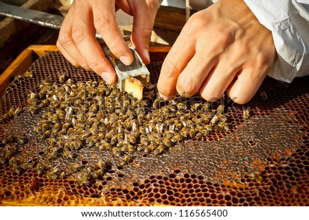 Beekeeper introducing a new queen bee in an introduction cage - stock photo