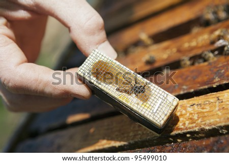 Beekeeper introducing a new queen bee to the hive - stock photo