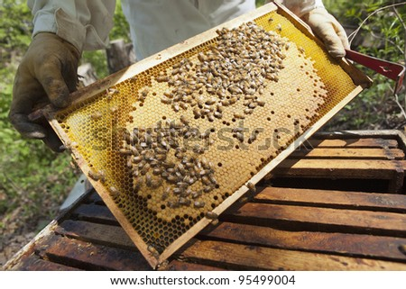 Beekeeper showing the honeycomb in the frame - stock photo