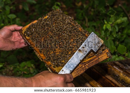 beekeeper with hive tool in the hand, checks honeycomb removed from the hive