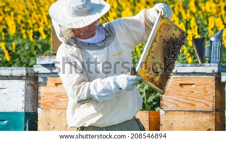 Beekeeper working in the field of sunflowers - stock photo
