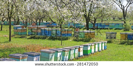 Beekeeping, beehives in the blooming cherry orchard - stock photo