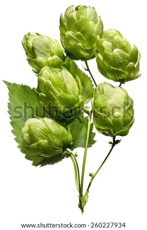 Beer Hops Ingredient - stock photo