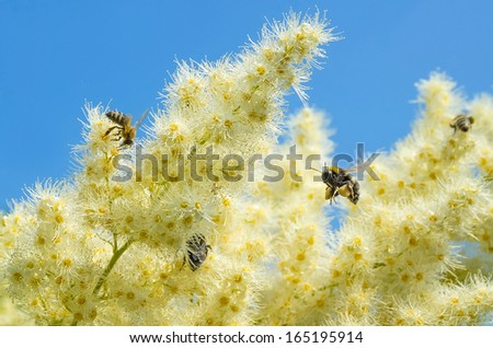 Bees and bumblebees for collecting nectar from flowering shrubs - stock photo