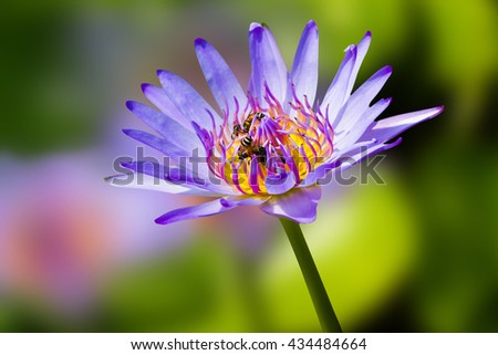 Bees and  lotus flower is the purple   -  Eating bee pollen   with blur backgroud  - stock photo