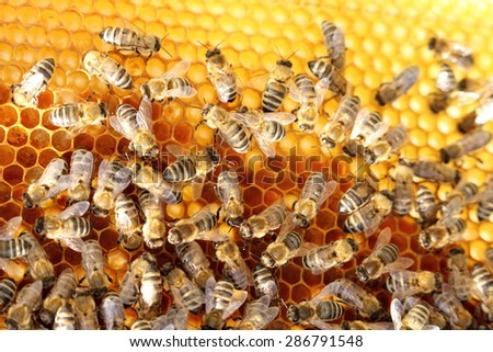 bees are working on a beeswax in a bee hive - stock photo