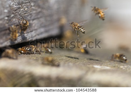 Bees at old hive entrance. - stock photo