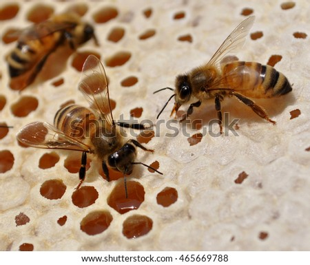 bees at work, on the honeycomb