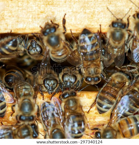 Bees between the honey frames close up - stock photo