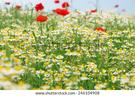 bees chamomile and poppy flower meadow spring season