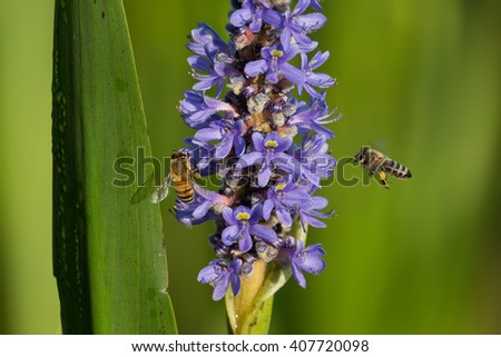 Bees collecting pollen from a purple swamp flower in the spring - stock photo