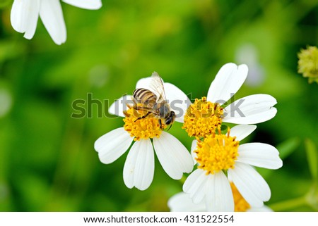 Bees, flies copulating on a daisy, spring ,World Environment Day - stock photo