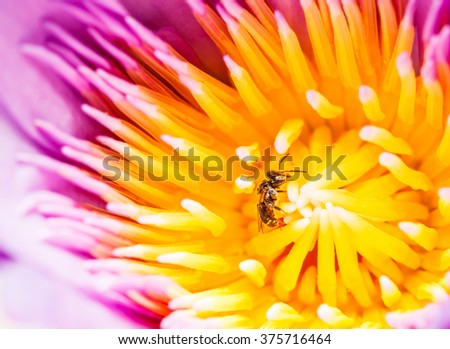 Bees gathered pollen Water Lily