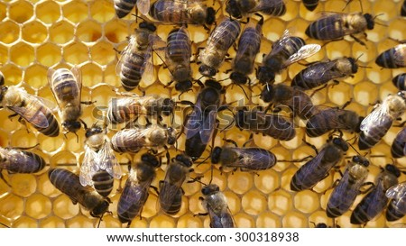 Bees inside a beehive with the queen bees in the middle