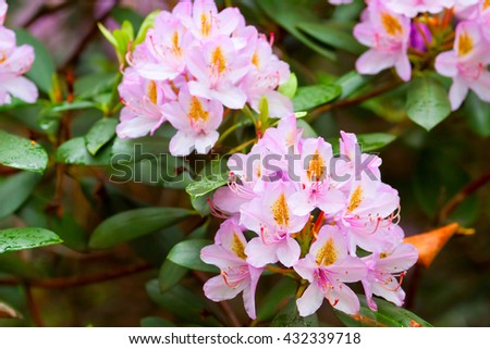 bees near the flowering buds of pink rhododendrons - stock photo