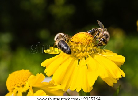 Bees on a yellow flower. Small depth to sharpness