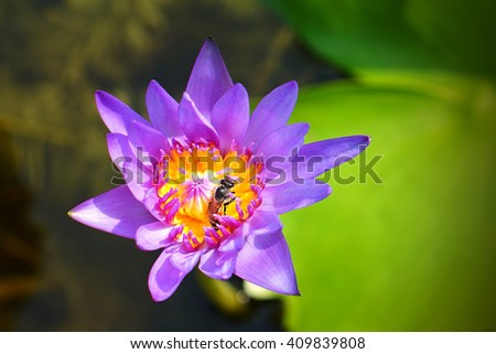 Bees on carpel of purple waterlily flower plants  - stock photo